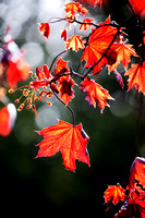 Ornamental Red Leaves in Spring - Vert