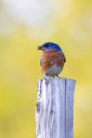 Bluebird on Post #1