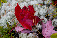 Red Leaf on Caribou Moss