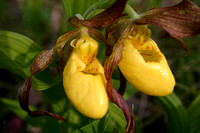 Yellow Lady's Slippers #1